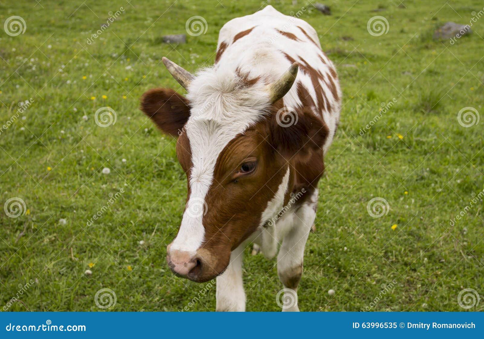 Jeune vache avec la coupe de cheveux dr le image stock - Image de vache drole ...
