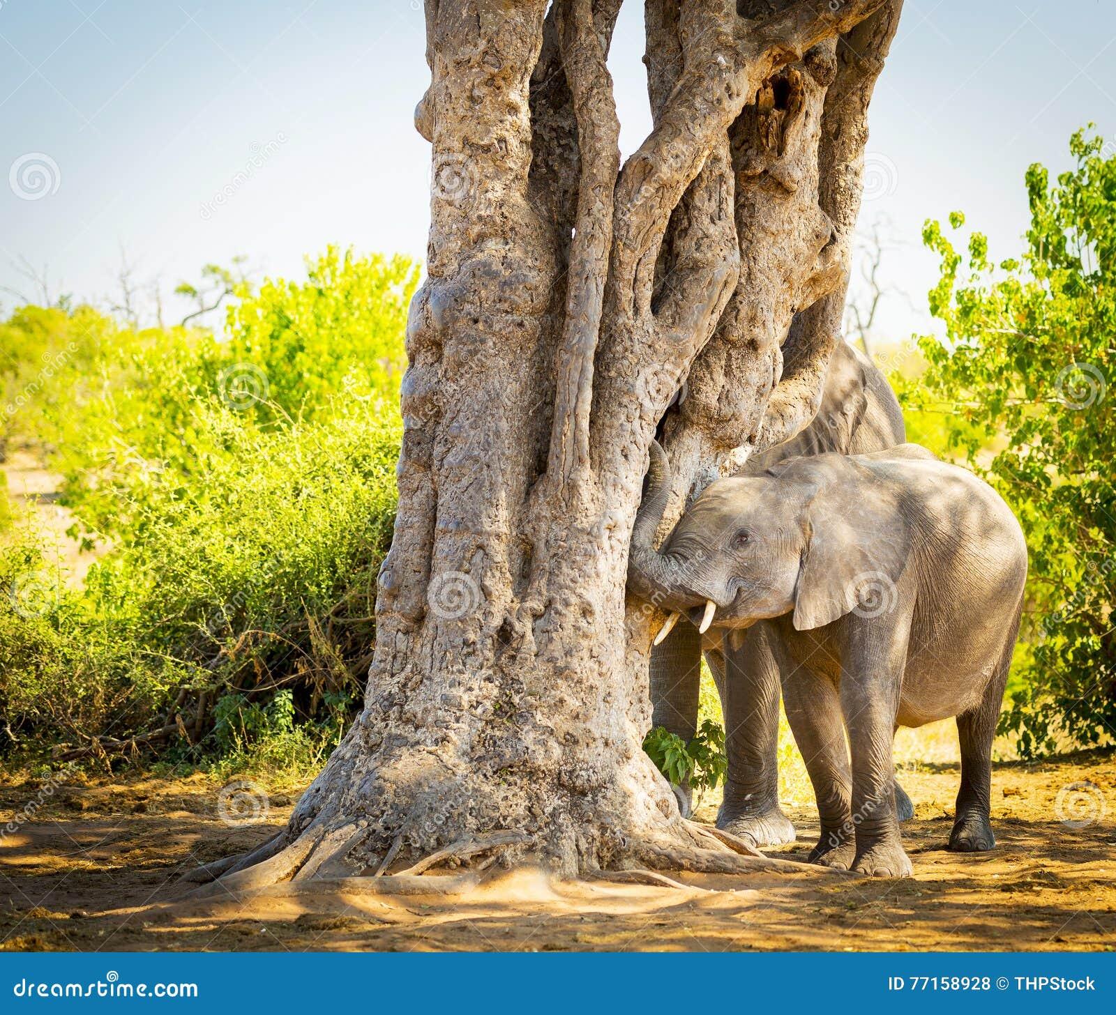 Jeune veau d éléphant jouant avec le tronc