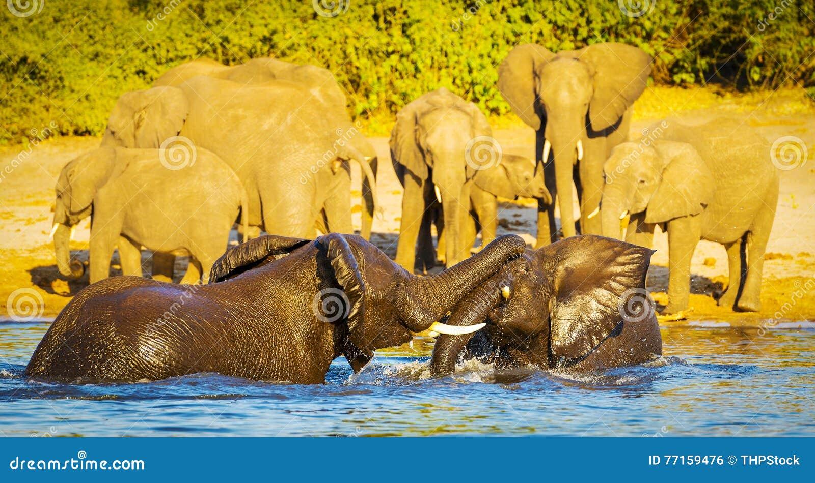 Jeunes éléphants jouant dans l eau