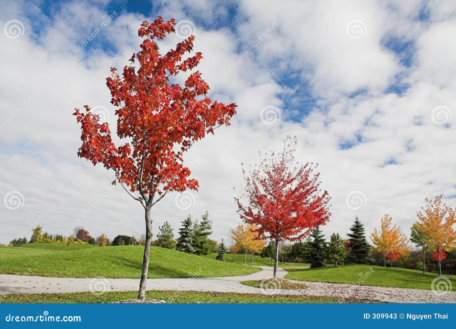 Jeunes arbres d érable en automne