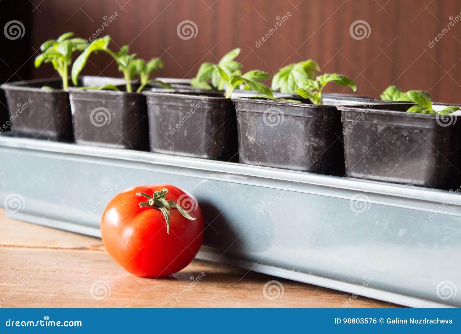 Tomate En Pot Conseil jeunes arbres des tomates dans des pots et des séries mûres