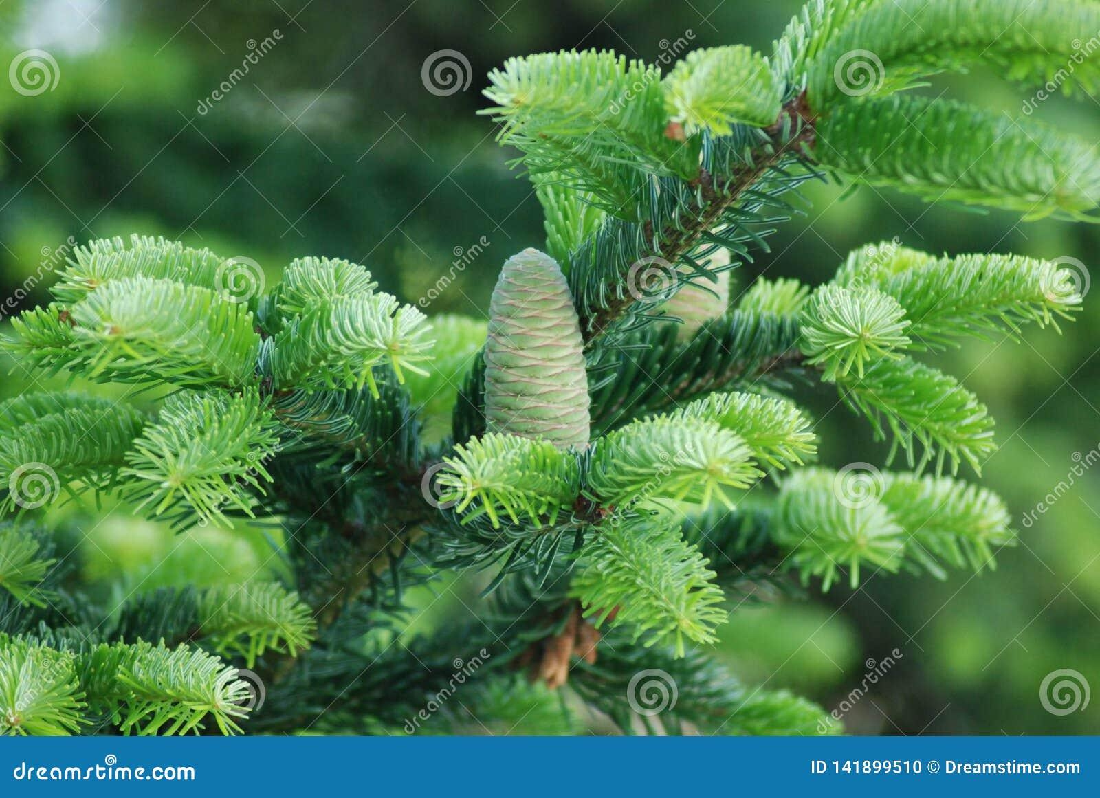 Jeunes cône et aiguilles frais de pin
