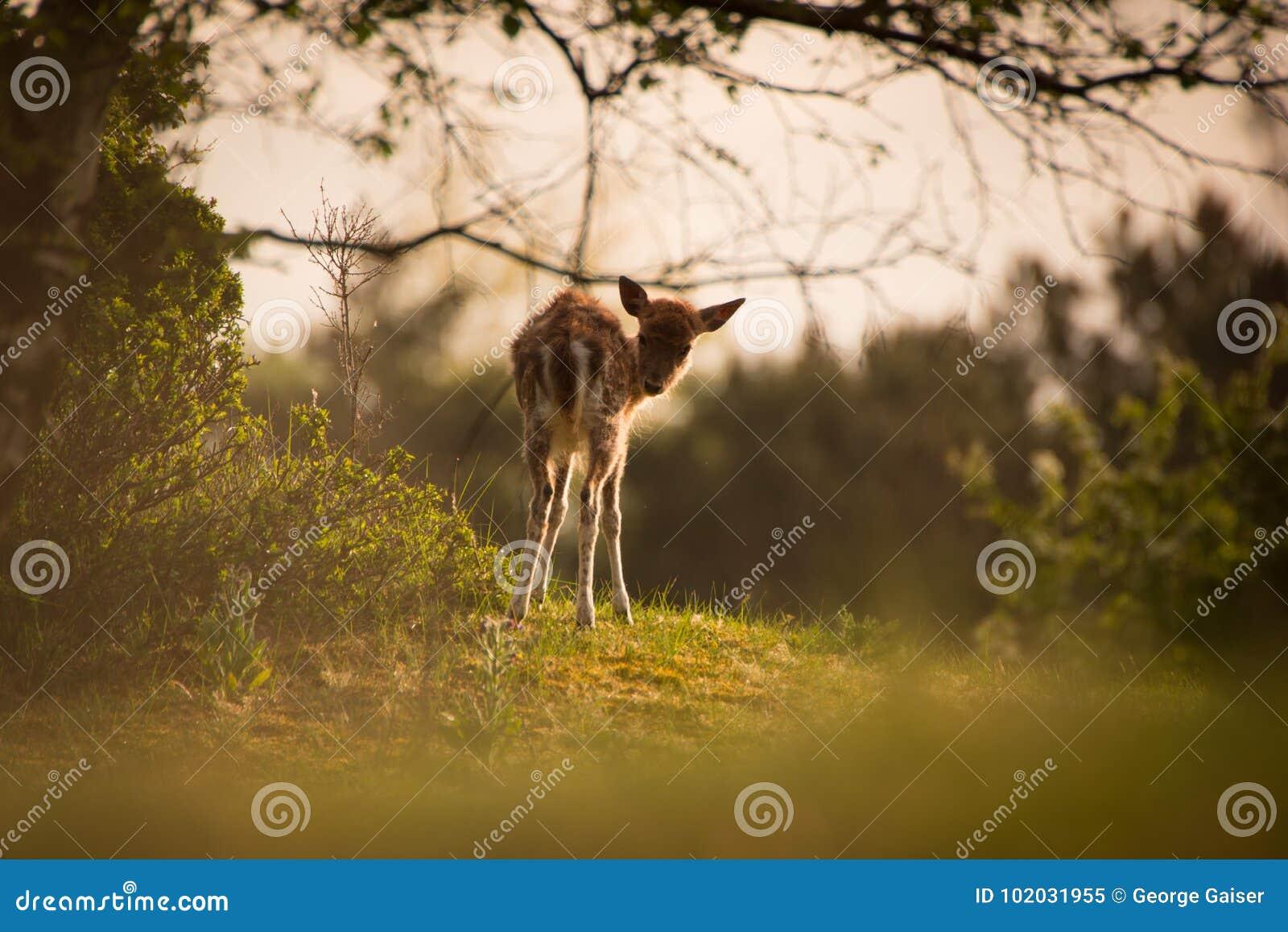 Jeunes cerfs communs dans le lever de soleil