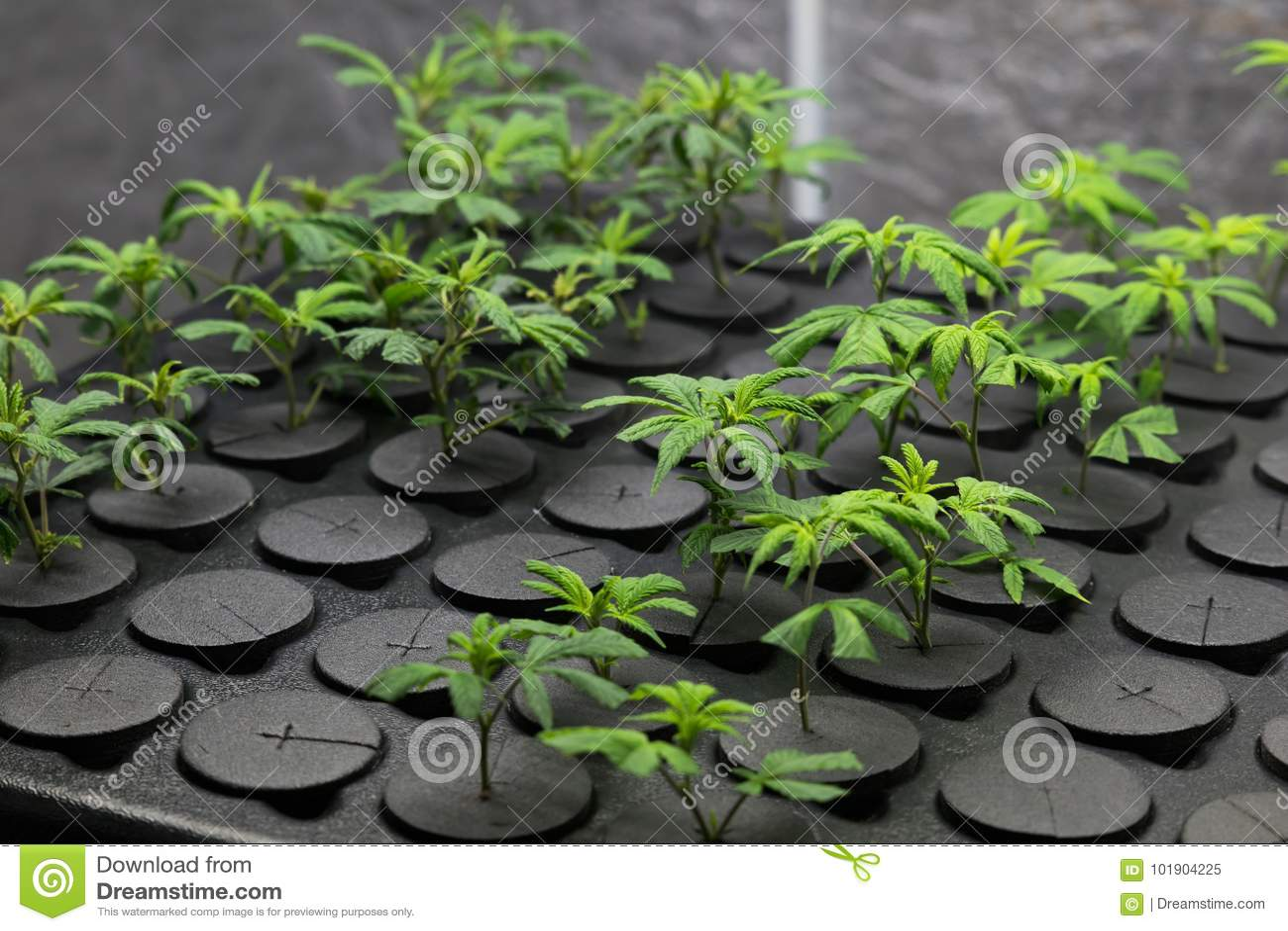 Jeunes clones frais de cannabis de coupe