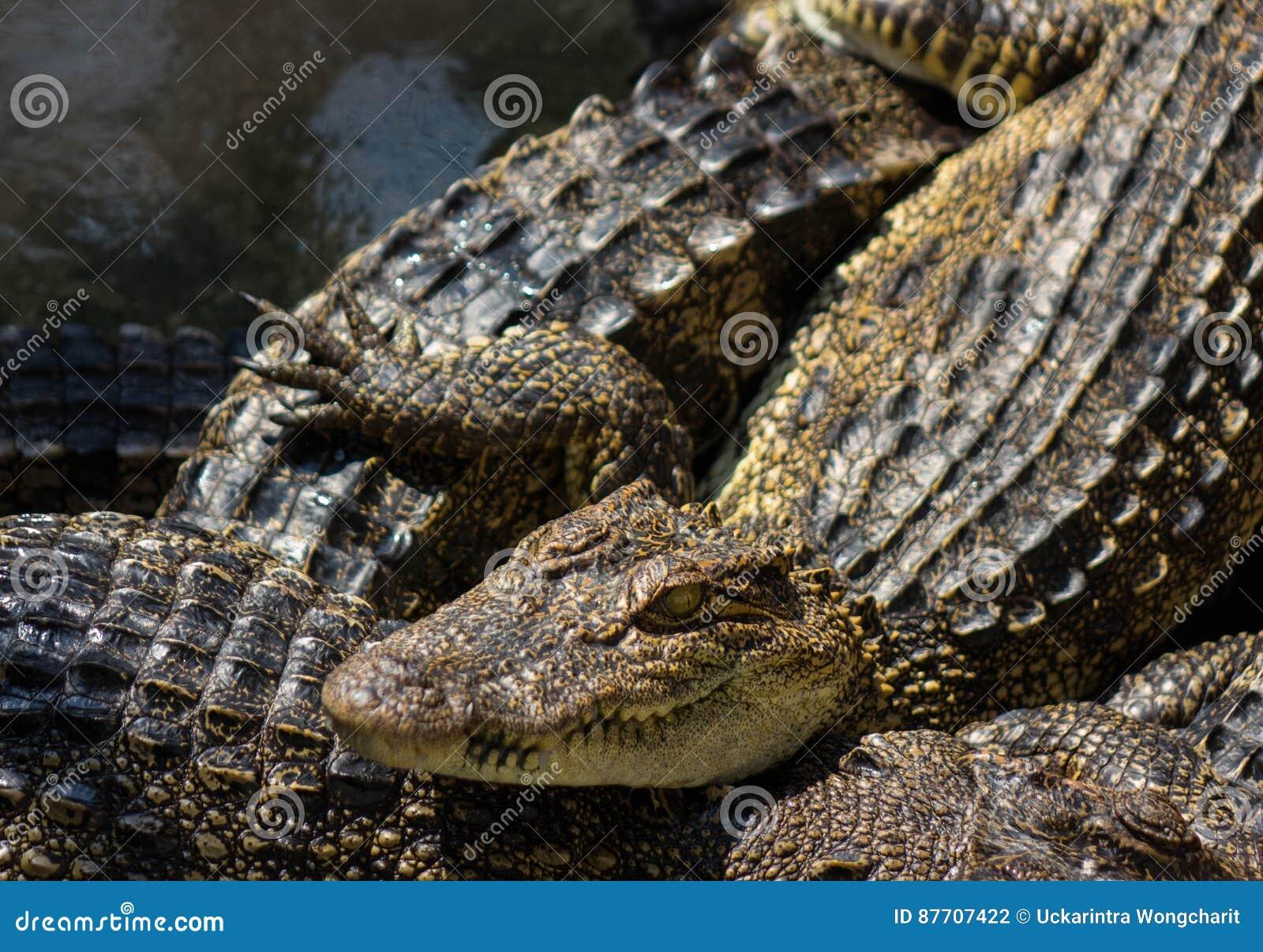 Jeunes d eau de mer de crocodile