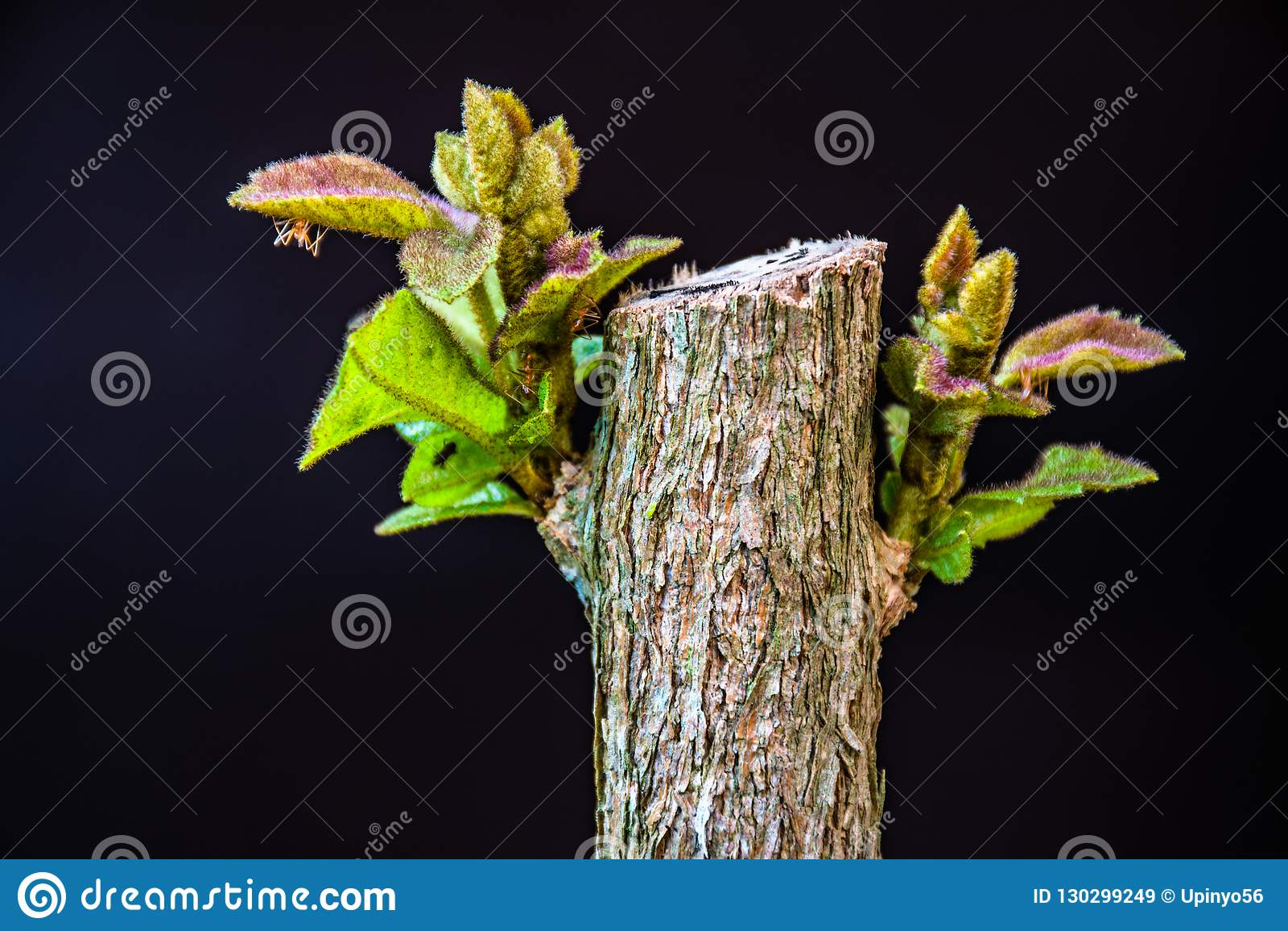 Jeunes feuilles de buisson de papillon