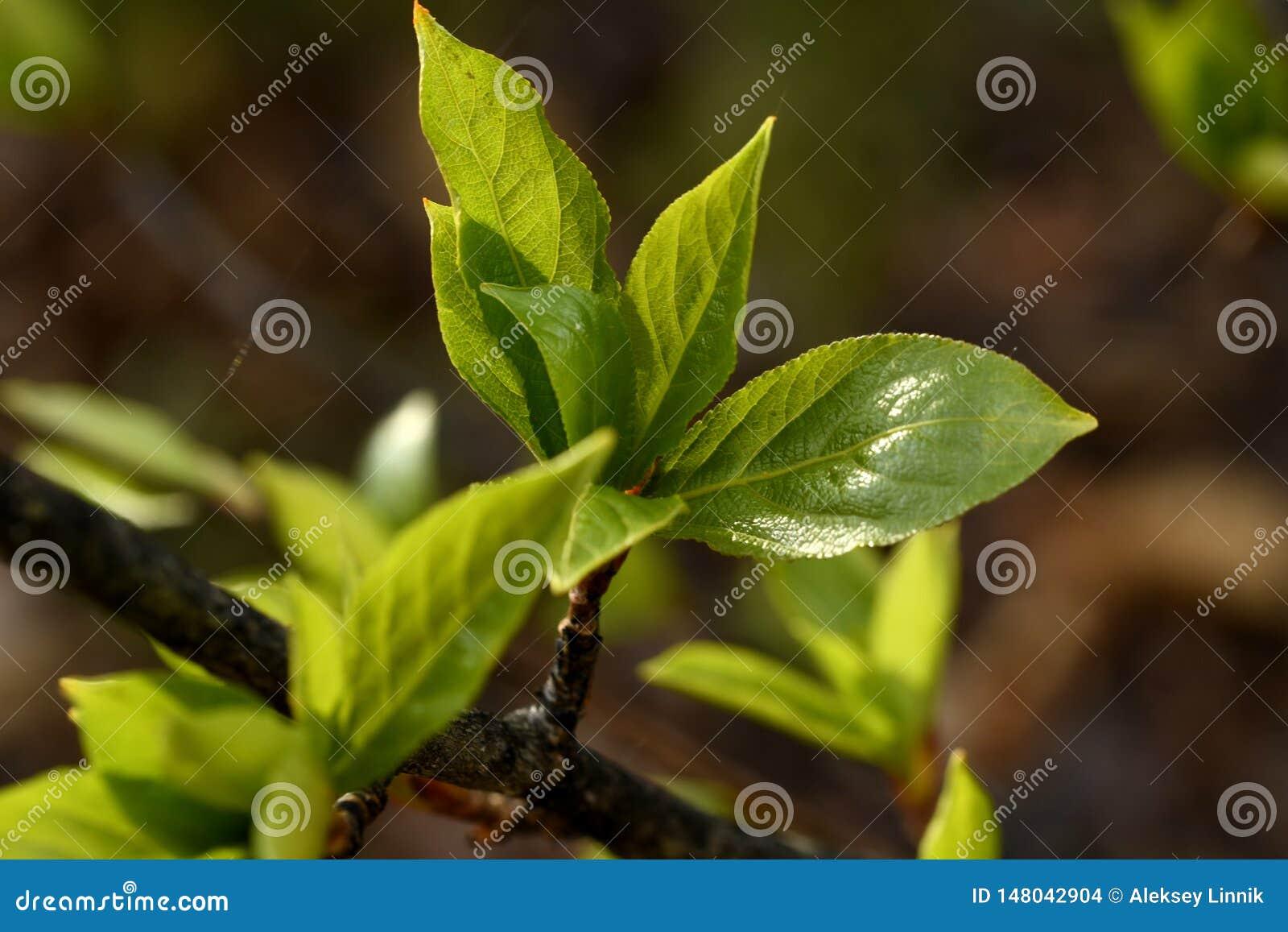 Jeunes feuilles de peuplier