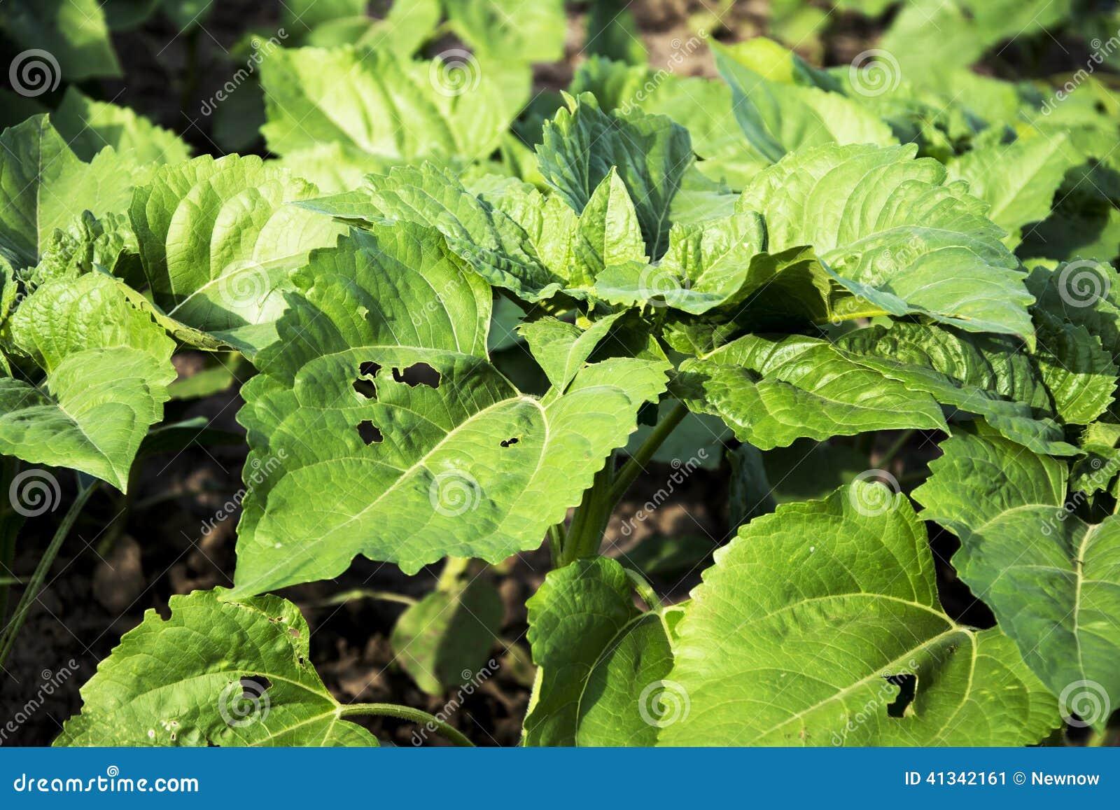 jeunes feuilles de tournesol avec la maladie photo stock image 41342161. Black Bedroom Furniture Sets. Home Design Ideas
