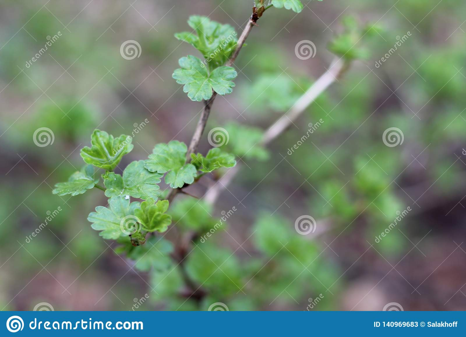 Jeunes feuilles vertes sur les branches des arbustes au printemps, plan rapproché, avec un fond brouillé