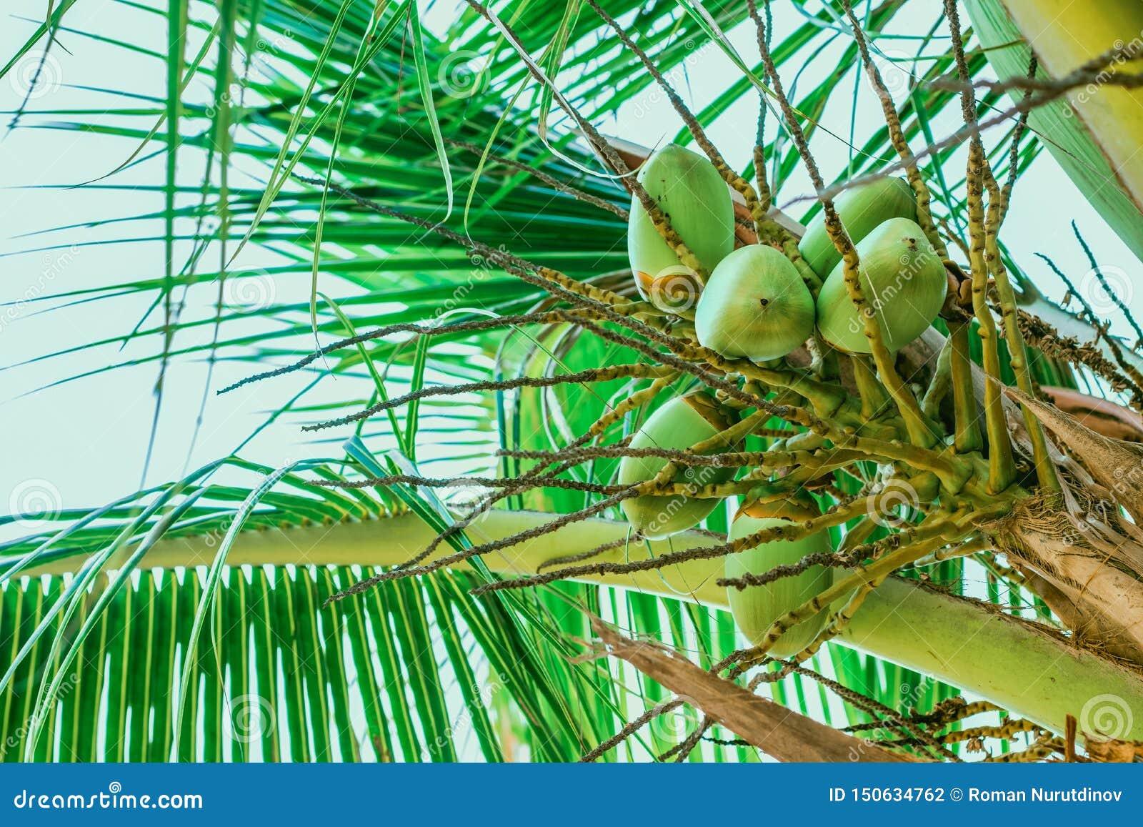 Jeunes fruits de noix de coco sur la paume