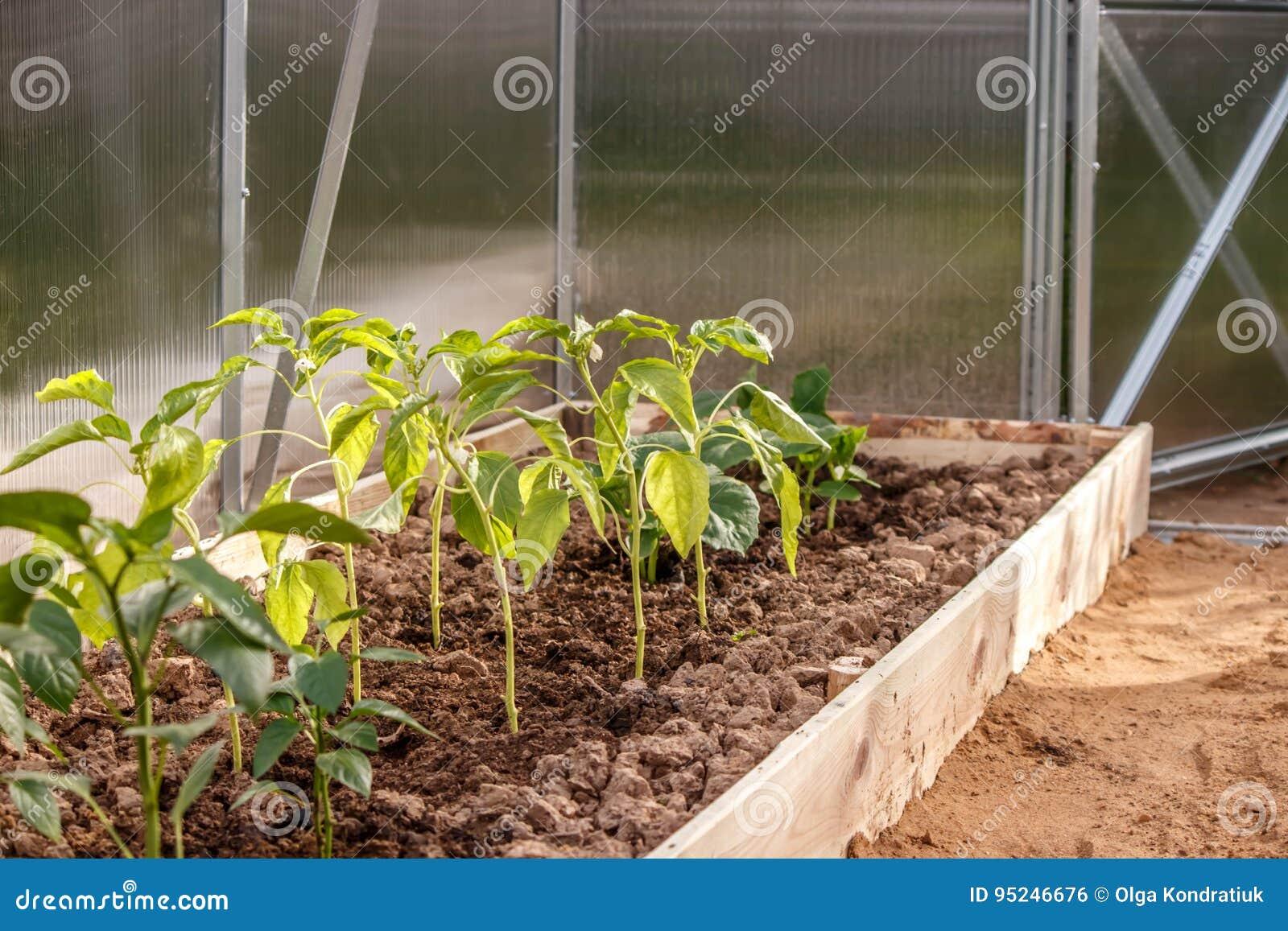 Jeunes jeunes plantes de poivre dans le sol en serre chaude