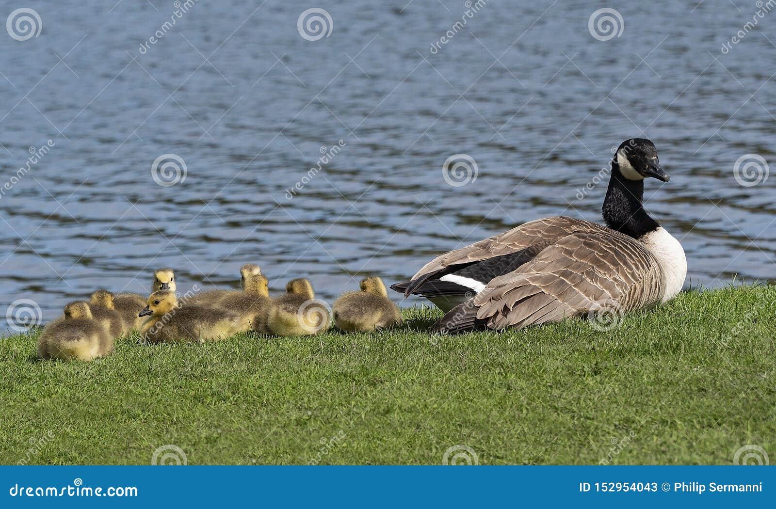 Jeunes oisons se reposant par l eau tandis que la mère observe