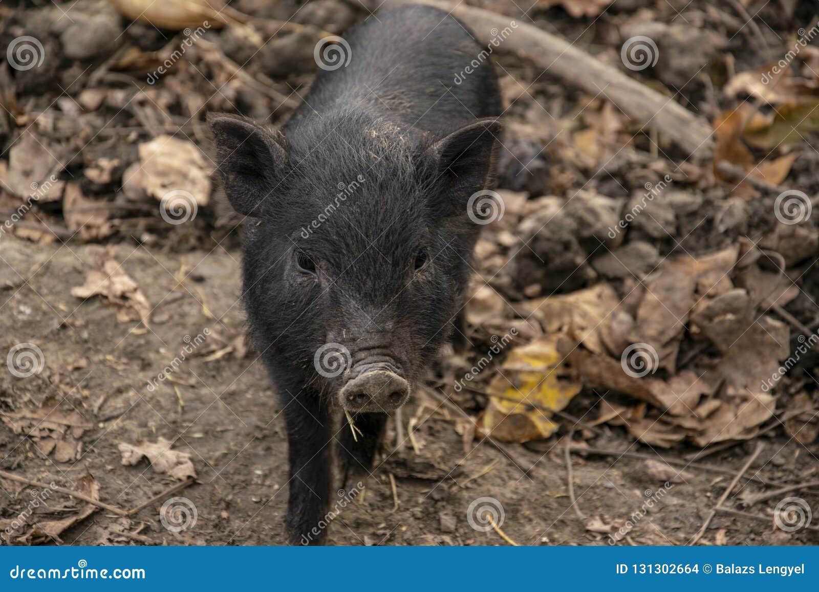Jeunes, plan rapproché Pot-gonflé vietnamien noir de porc