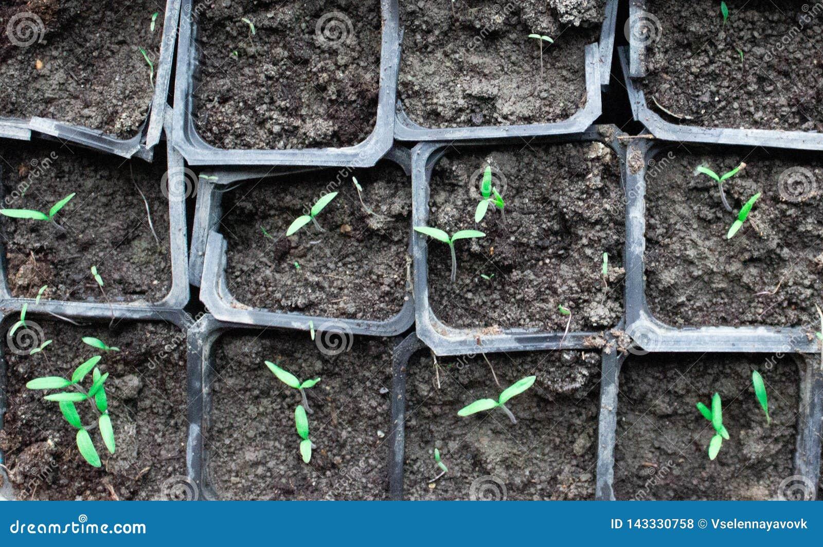 Jeunes plantes dans des pots à la maison Jeunes plantes tôt cultivées des graines dans des boîtes à la maison sur le windowsil ve