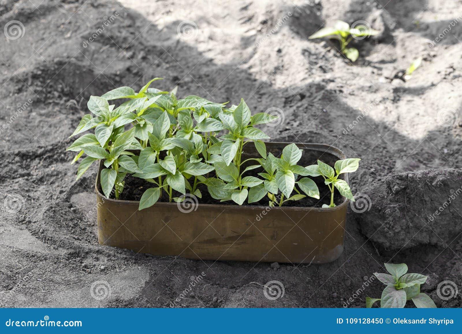 Jeunes plantes de paprika