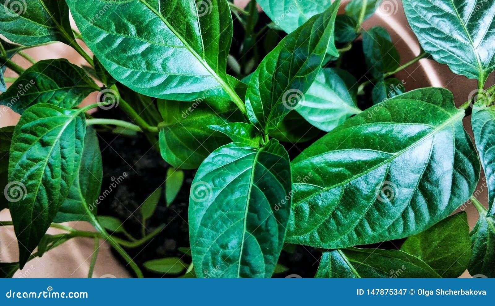 Jeunes plantes de ressort Basses pousses des poivrons cultiv?s Les pousses du poivre cultiv?es de la graine