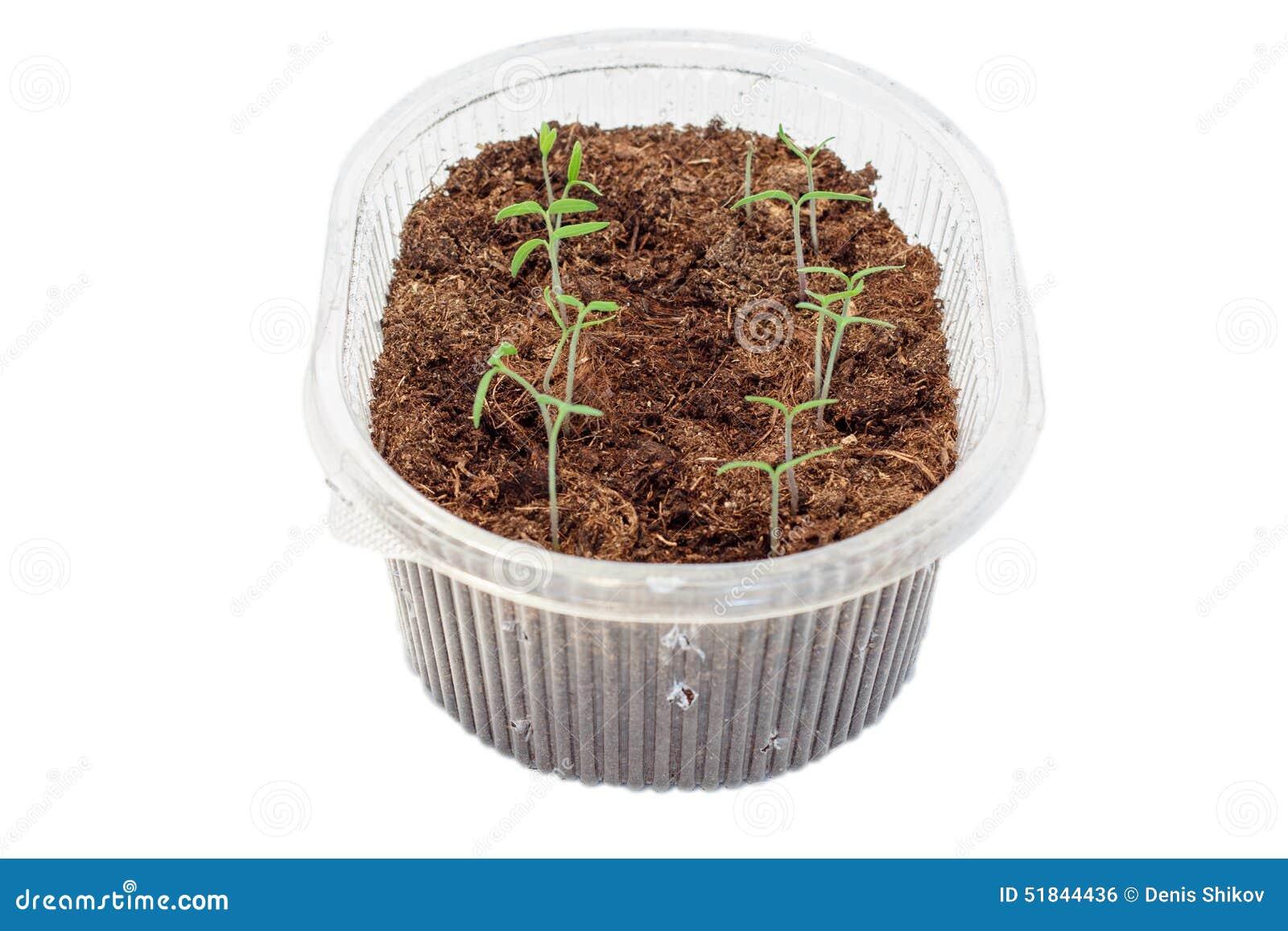 Jeunes plantes des tomates dans la boîte