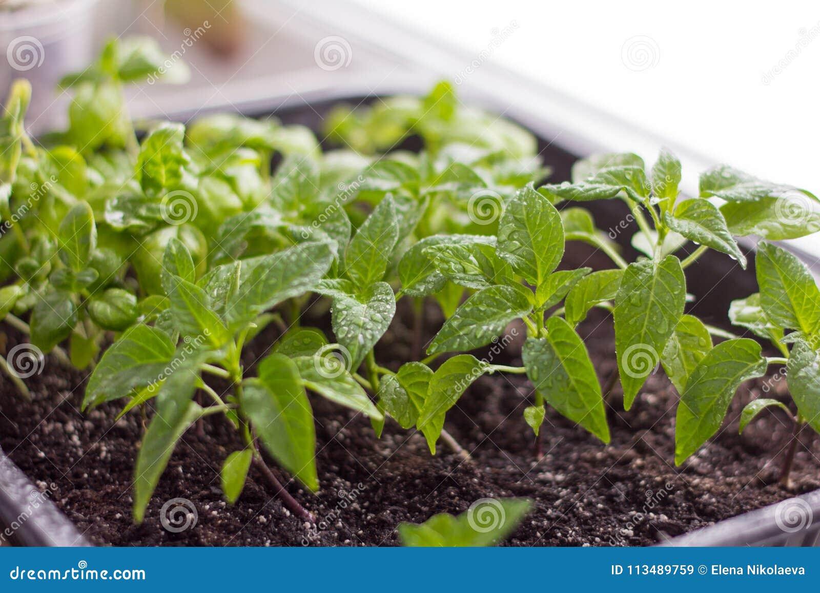 Jeunes plantes, poivrons cultivés et Basil sur le rebord de fenêtre