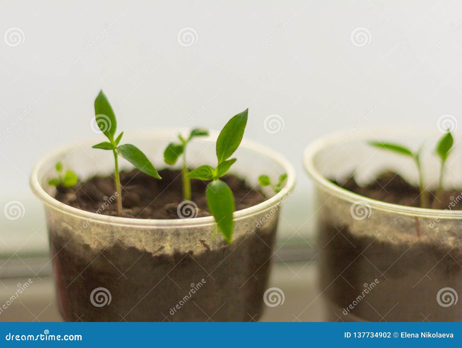 Jeunes plantes, jeunes pousses de poivre