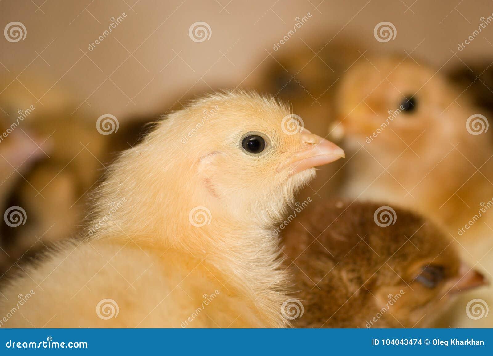 Jeunes poulets à rôtir à la ferme avicole