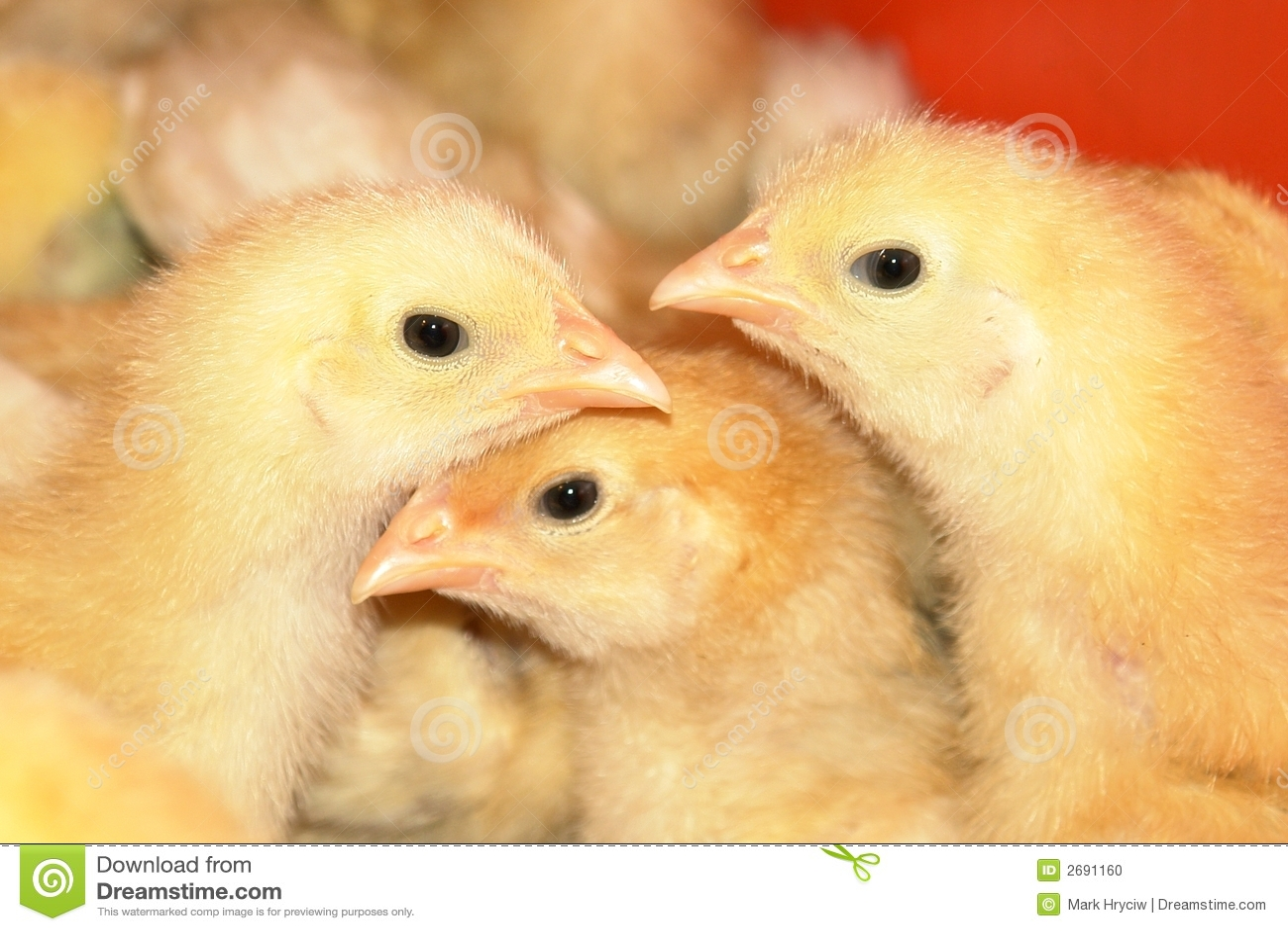 Jeunes poulets