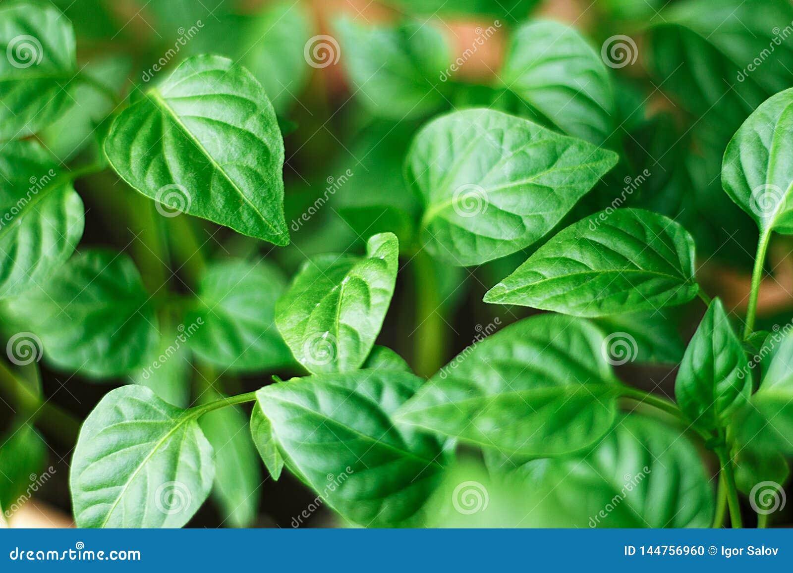 Jeunes pousses vertes de poivron doux avec les feuilles juteuses Jeunes plantes de paprika