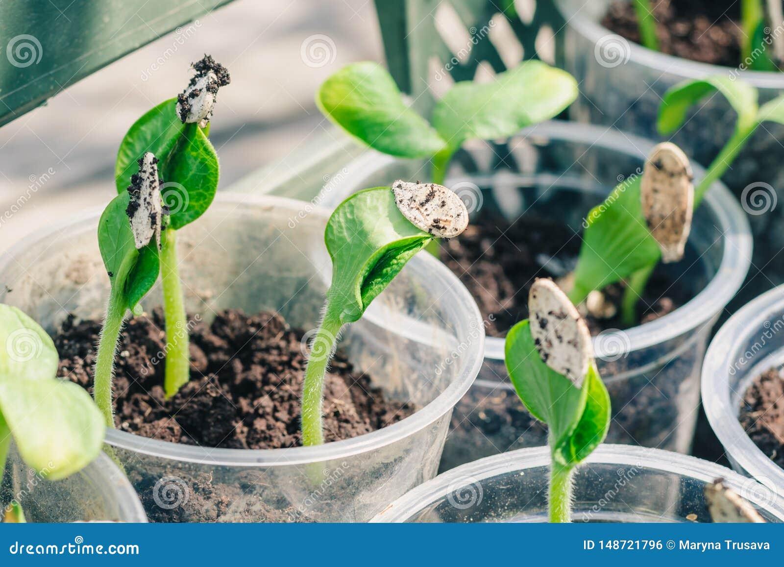 Jeunes pousses vertes de potiron, préparées pour débarquer dans la terre ouverte