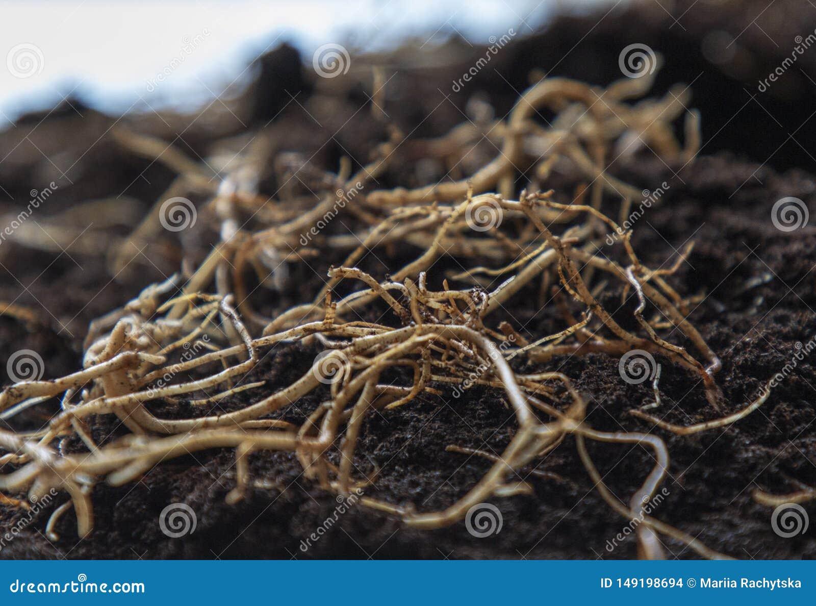 Jeunes racines de fleur sur le fond sur terre