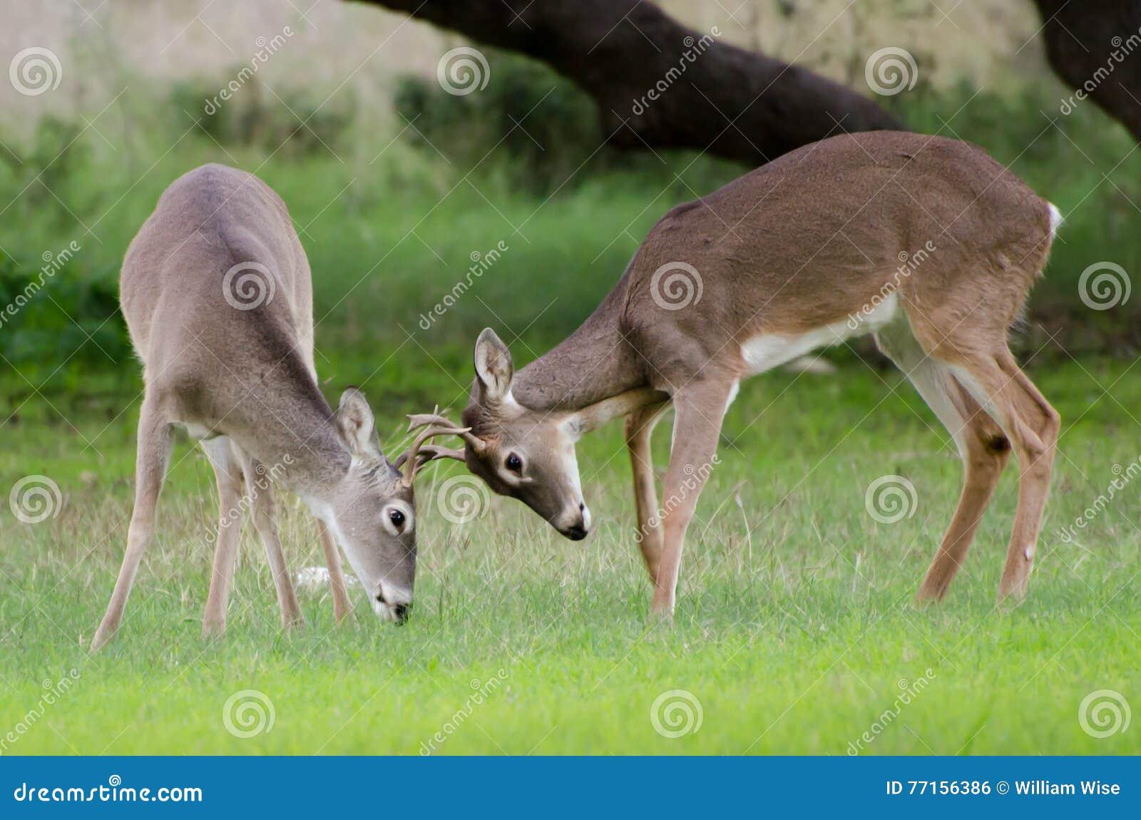 Jeux de cerfs communs