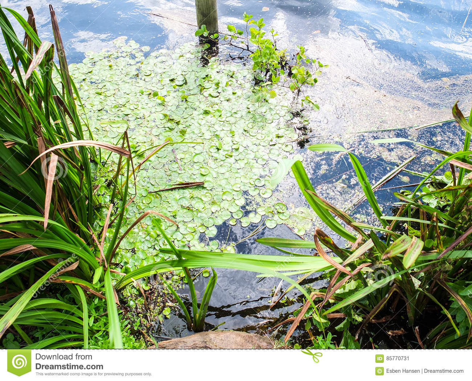 Jeziorna powierzchnia z zielonymi algami i denną trawą