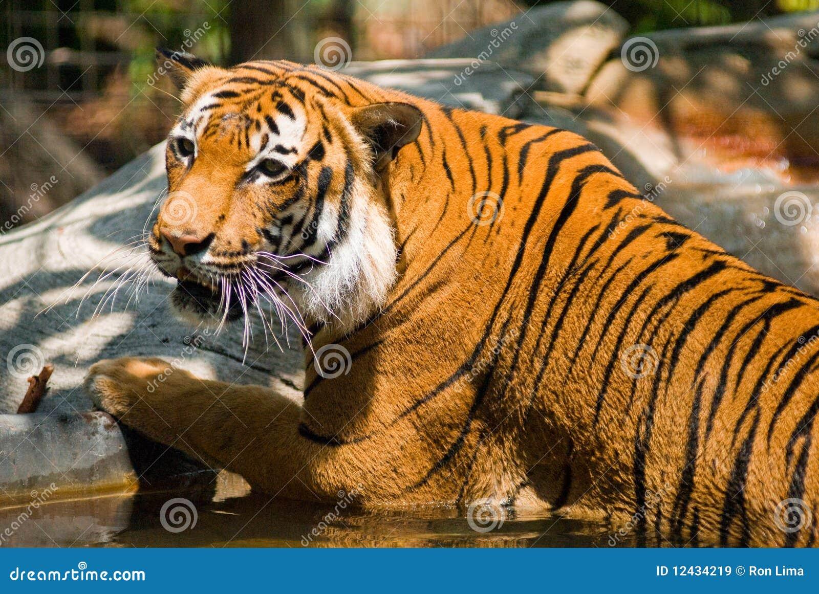 Jeziorny tygrys