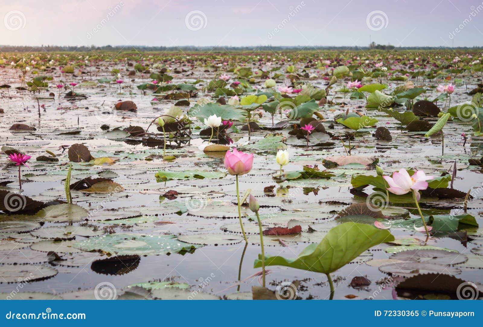 Jezioro czerwony lotos przy Udonthani Tajlandia (niewidziany w Tajlandia)