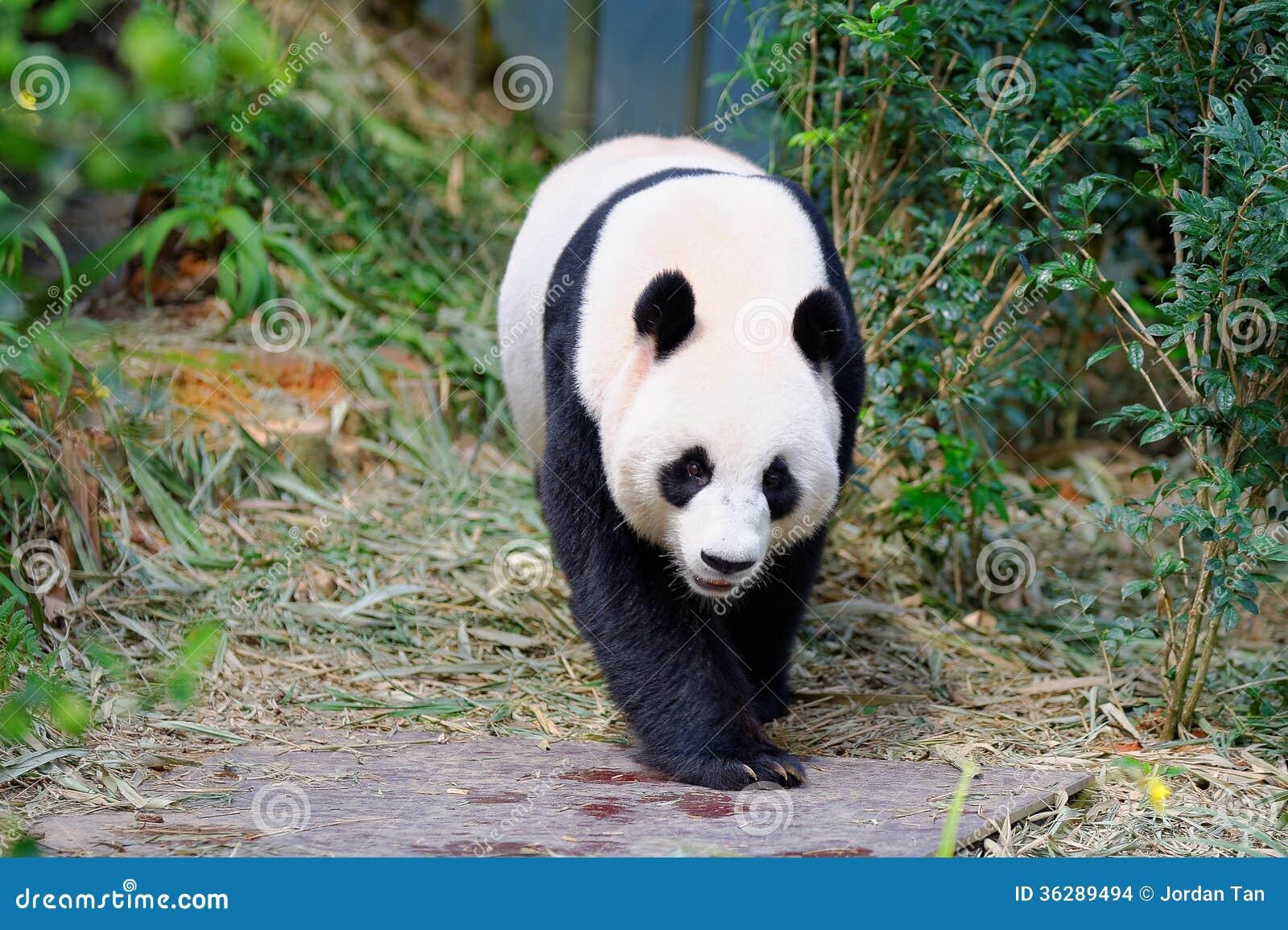 Jia Jia the female panda walking in its enclosure