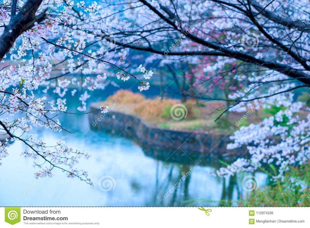 Cherry Blossoms Are Like Snow Stock Photo - Image of unlimited