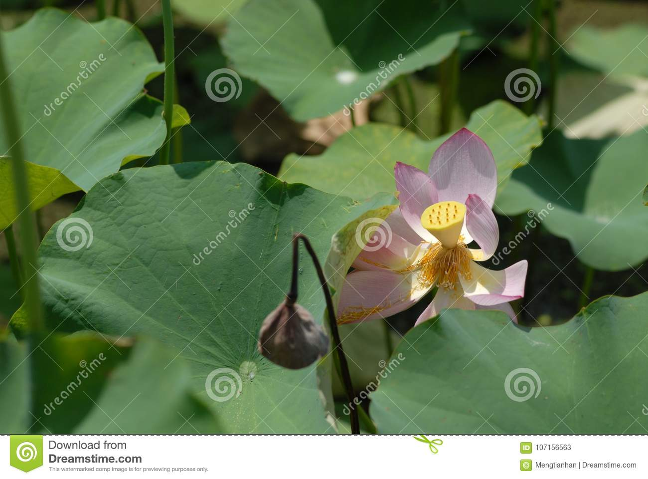Jiangxi guangchang white lotus lotus flower stock image image of genus proteales nelumbonaceae known as two species of the genus also known as lotus water hibiscus and so on is a perennial aquatic herb flowers izmirmasajfo
