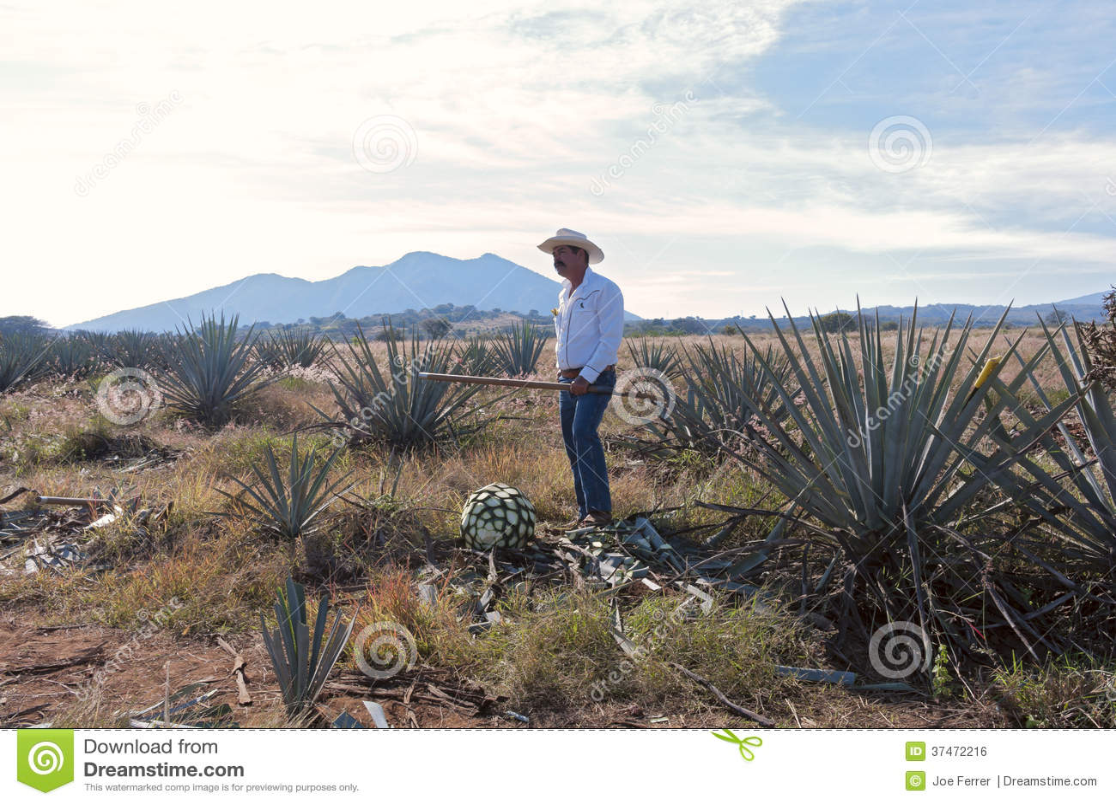 Jimador w Błękitnym agawy polu