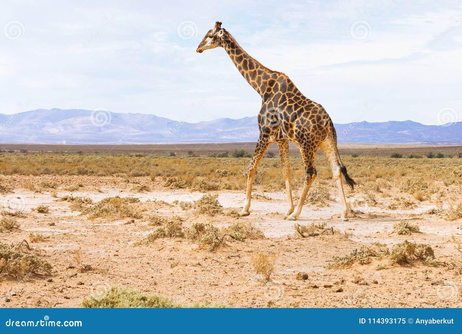 Jirafa en el paisaje de Suráfrica, safari de la fauna