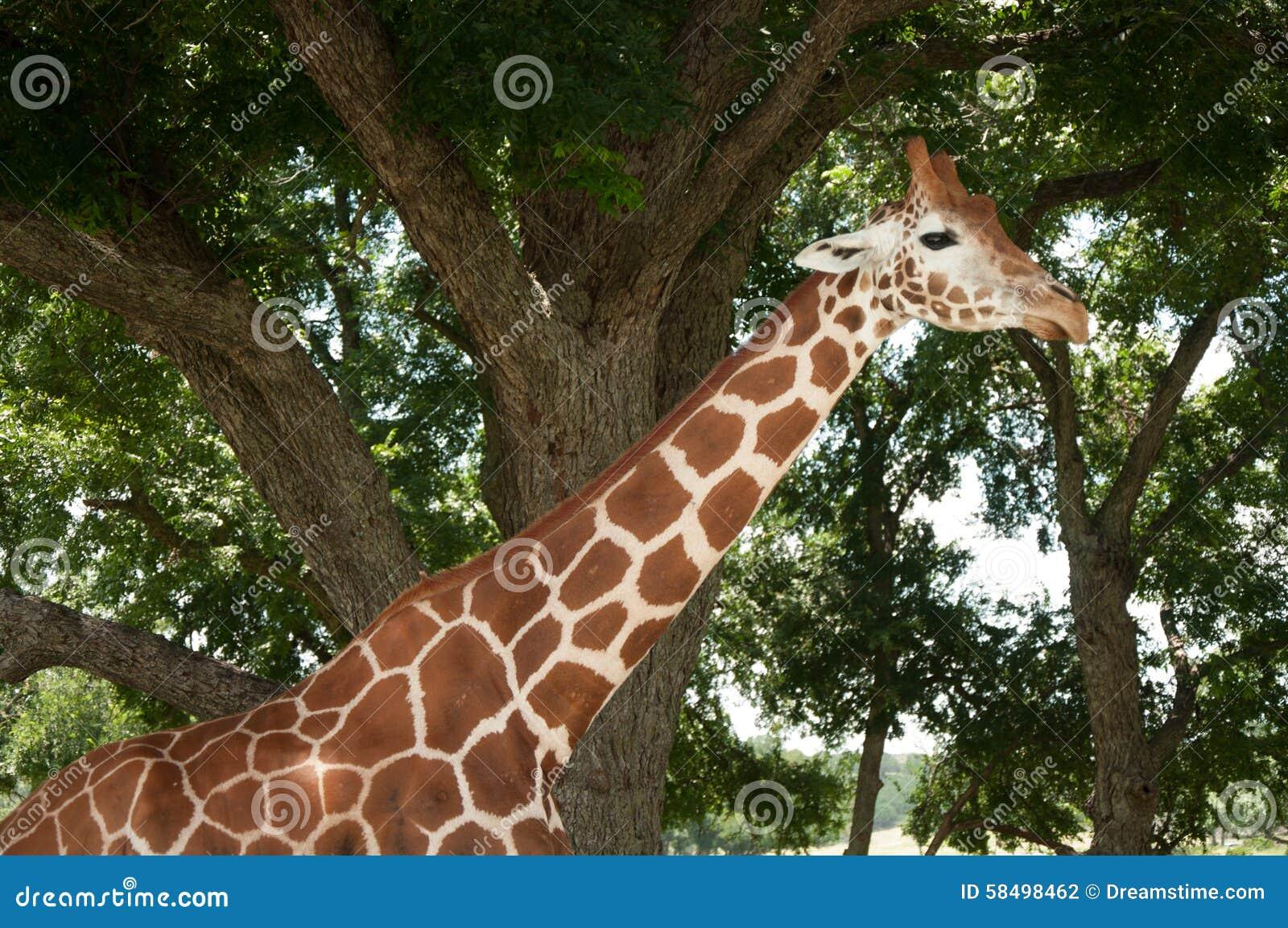 Jirafa en un safari