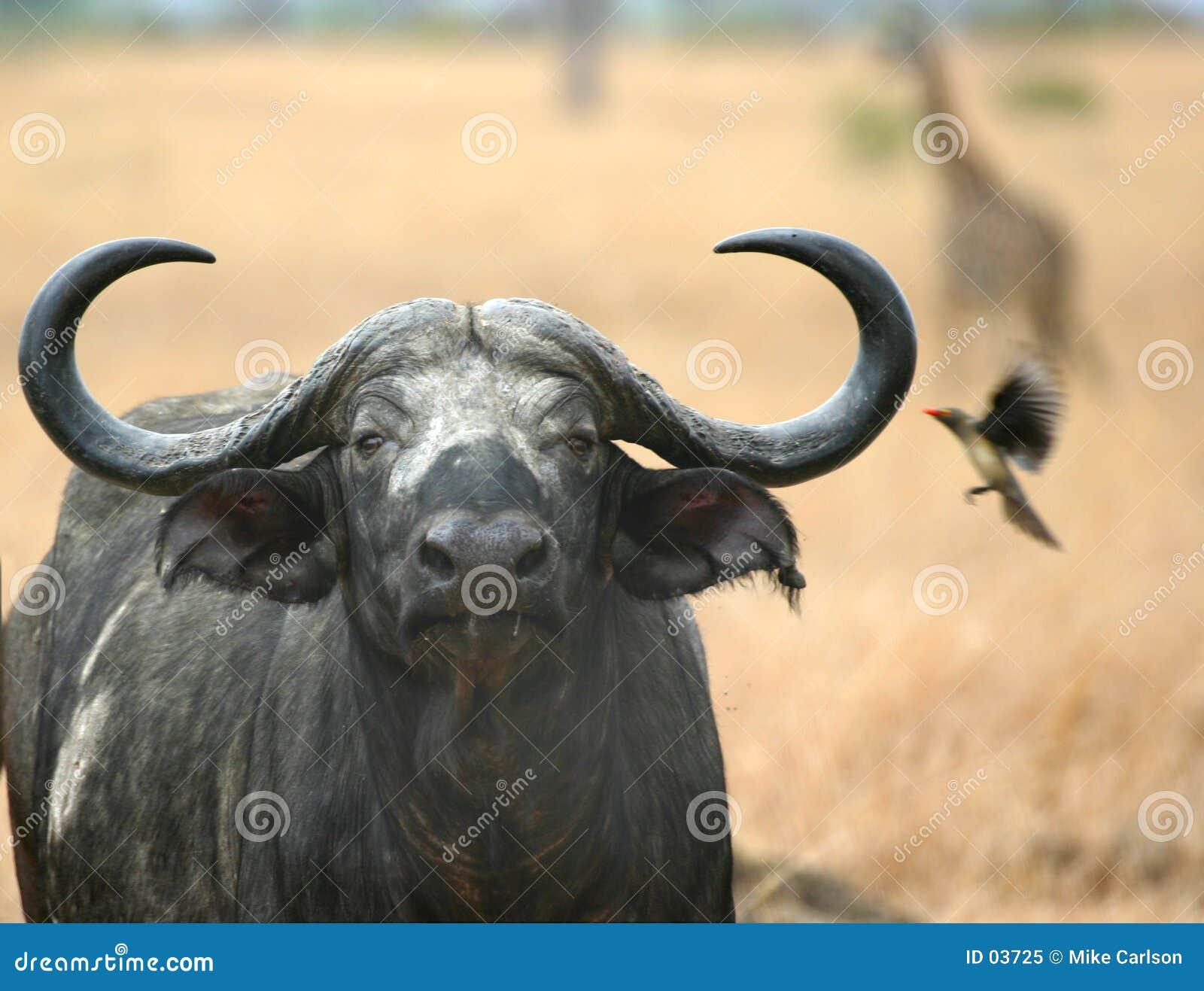 Jirafa y Oxpecker del búfalo