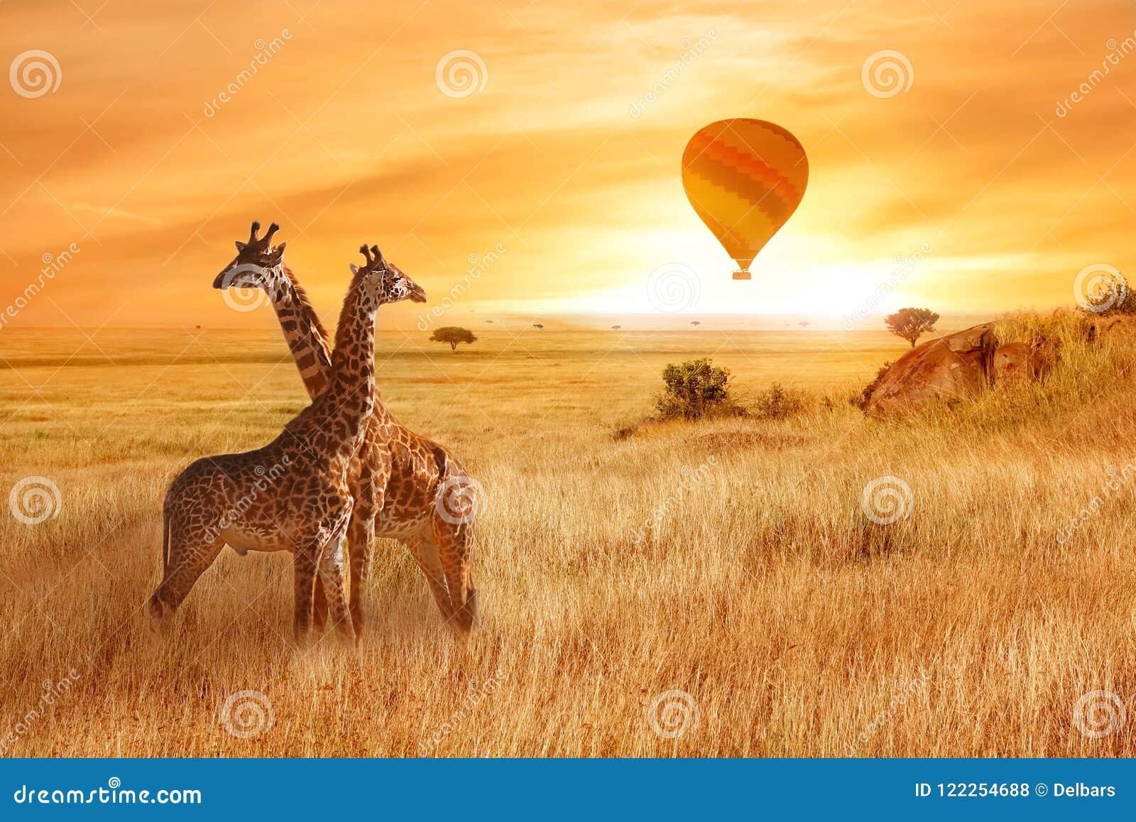 Jirafas en la sabana africana contra la perspectiva de la puesta del sol anaranjada Vuelo de un globo en el cielo sobre la sabana