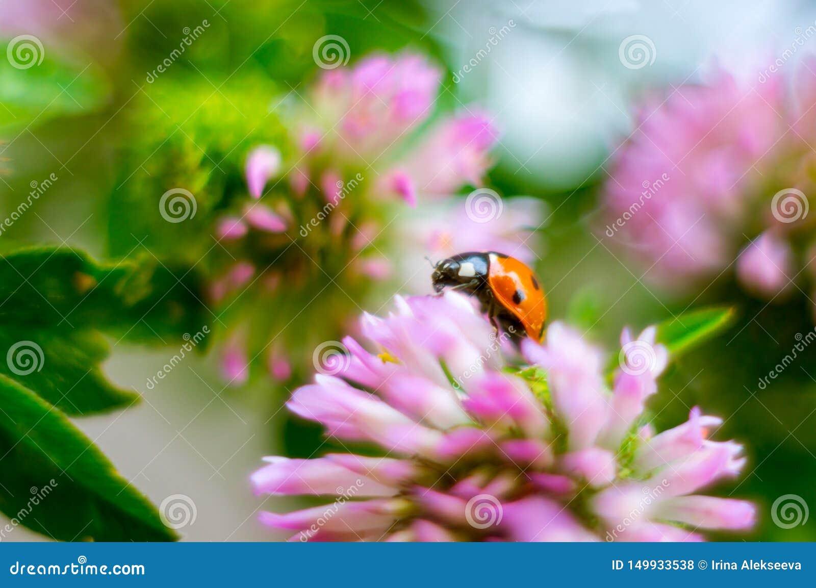 Joaninha em uma flor do trevo em um dia ensolarado Fundo bonito Foco macio
