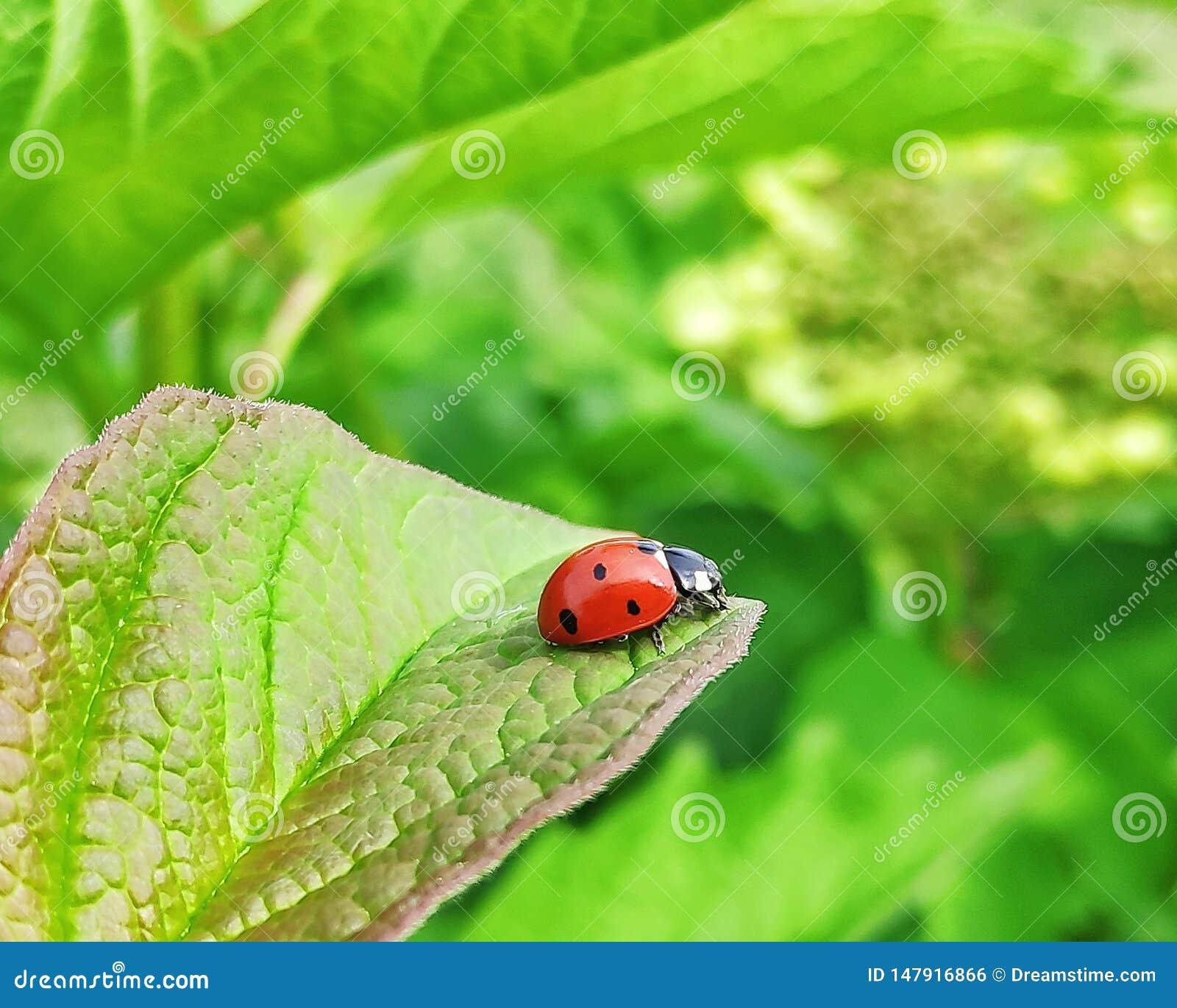 Joaninha em uma folha do viburnum
