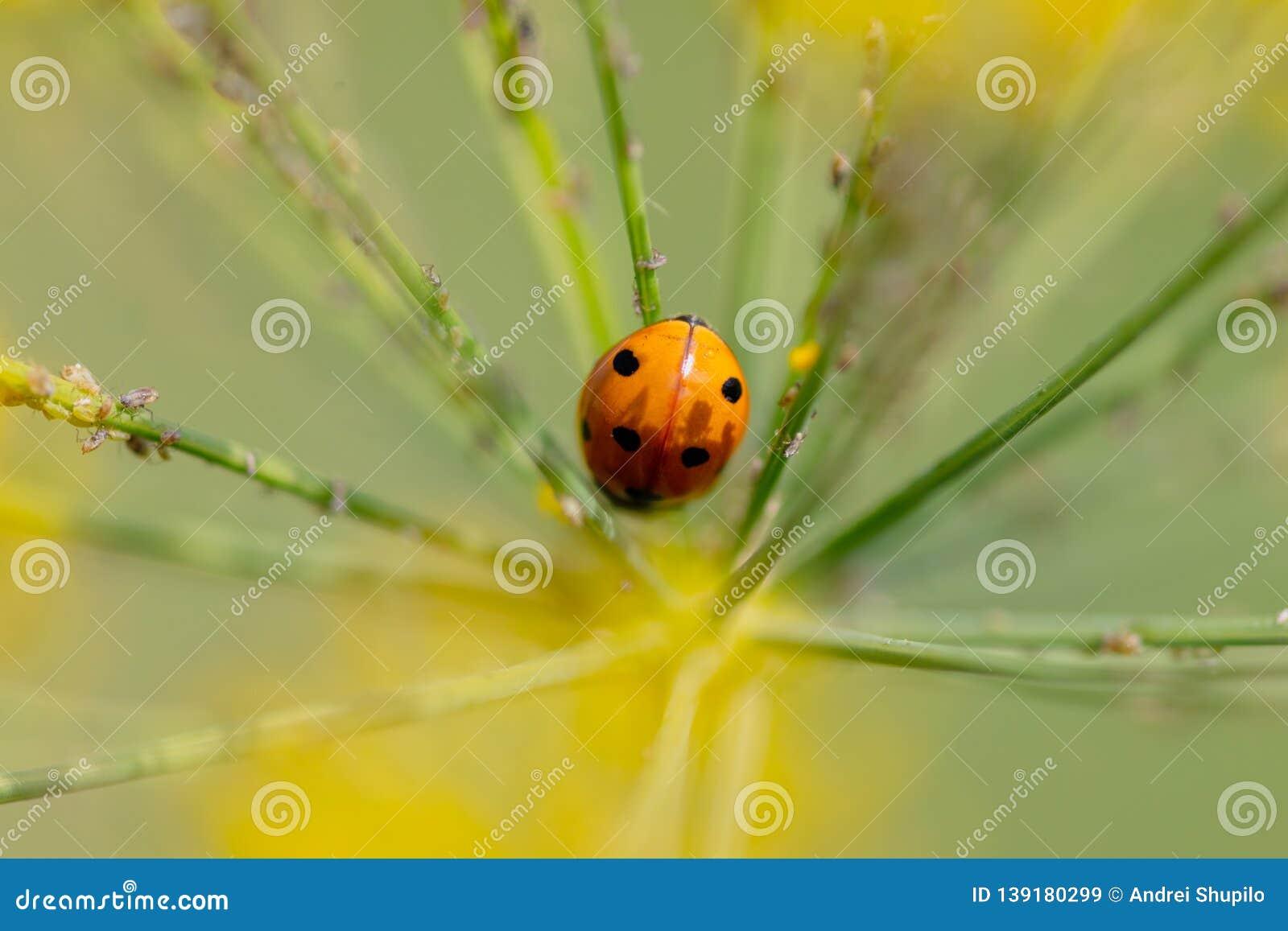 Joaninha em uma planta no verão