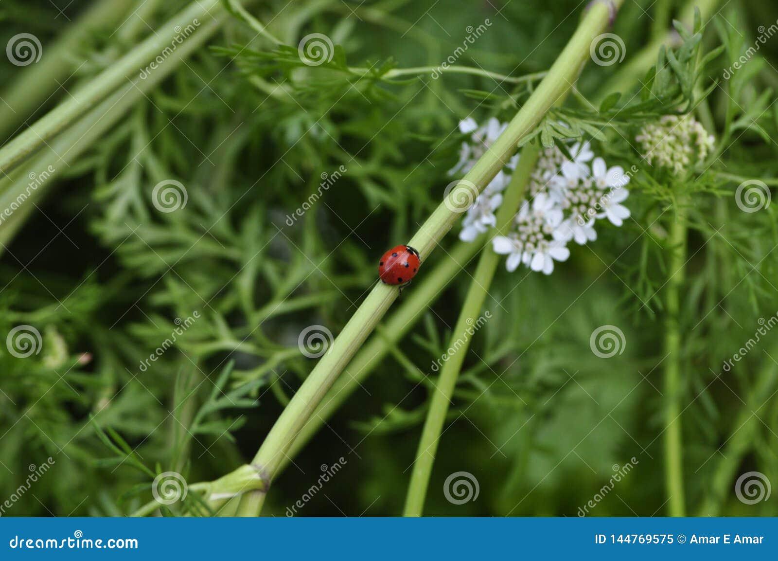 Joaninha fresca e vermelha na haste da haste da flor da salsa