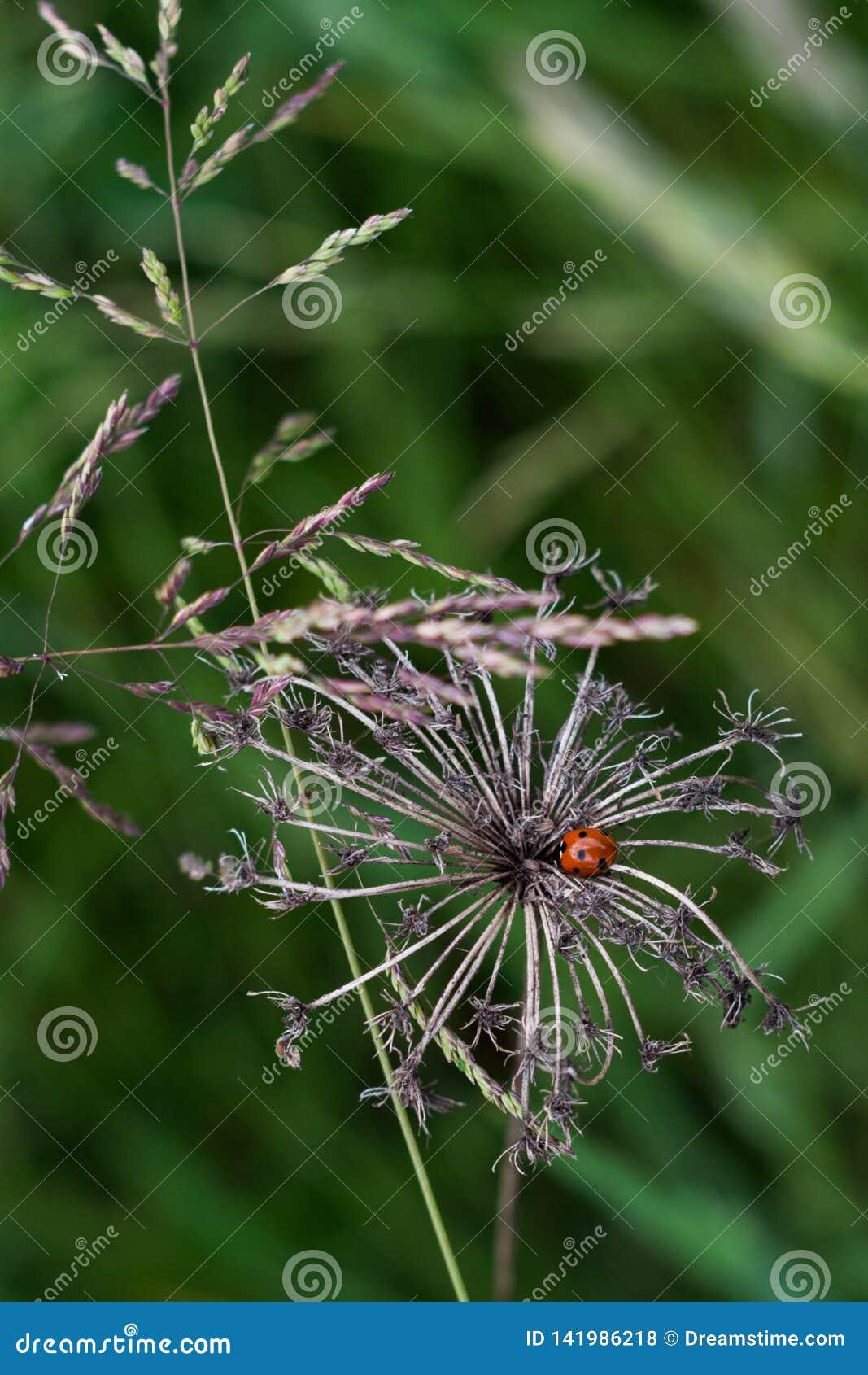 Joaninha na flor inoperante