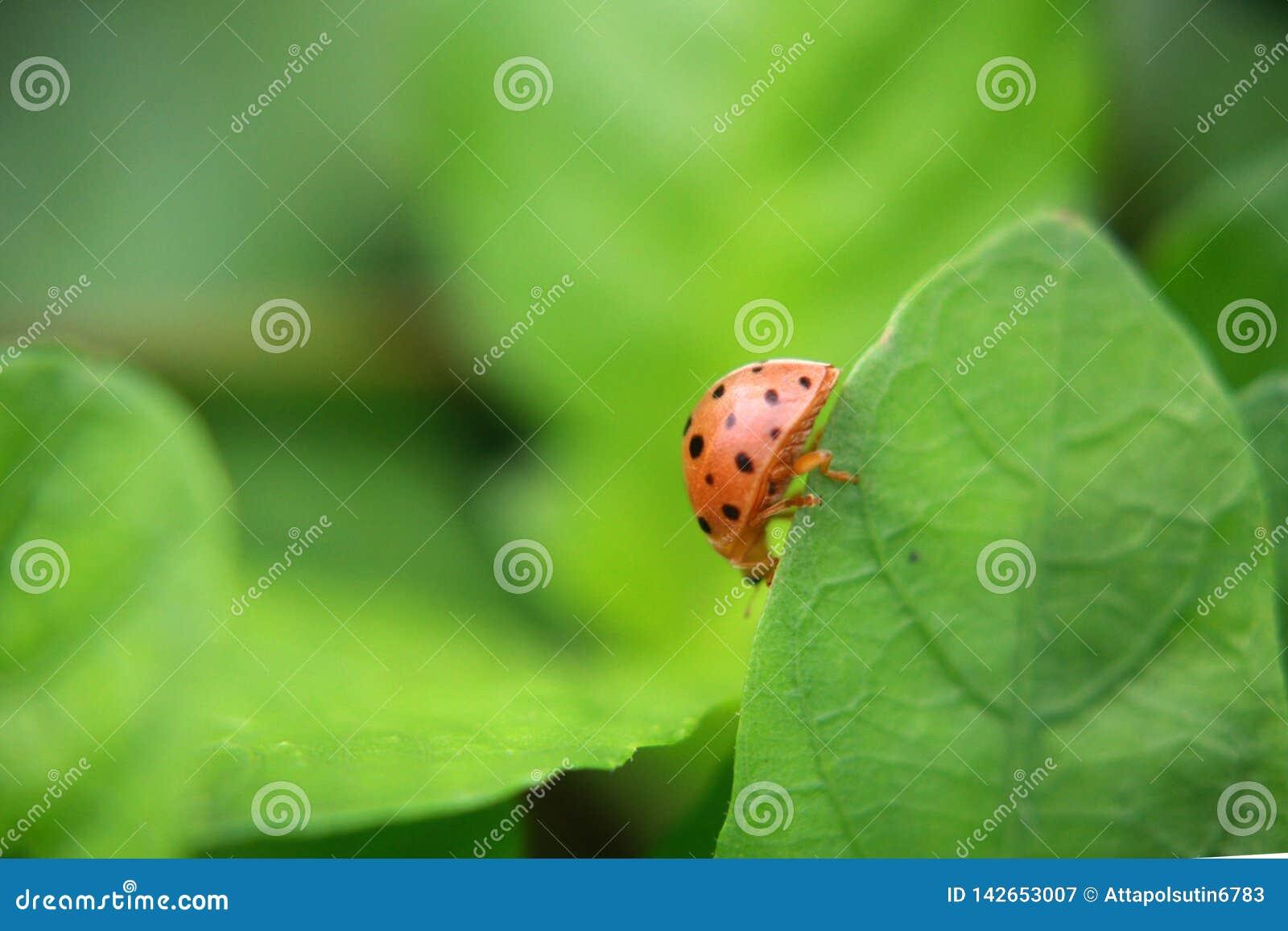 Joaninha na planta verde da folha, fim acima