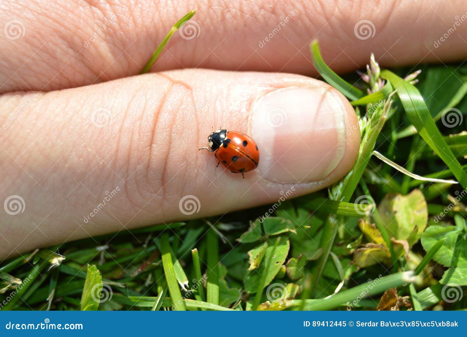 Joaninha no dedo