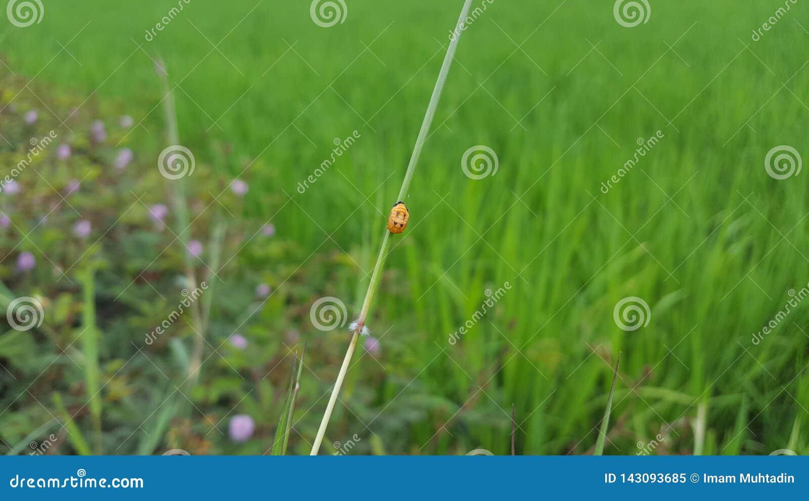Joaninha, um dos insetos com partes traseiras coloridas bonitas