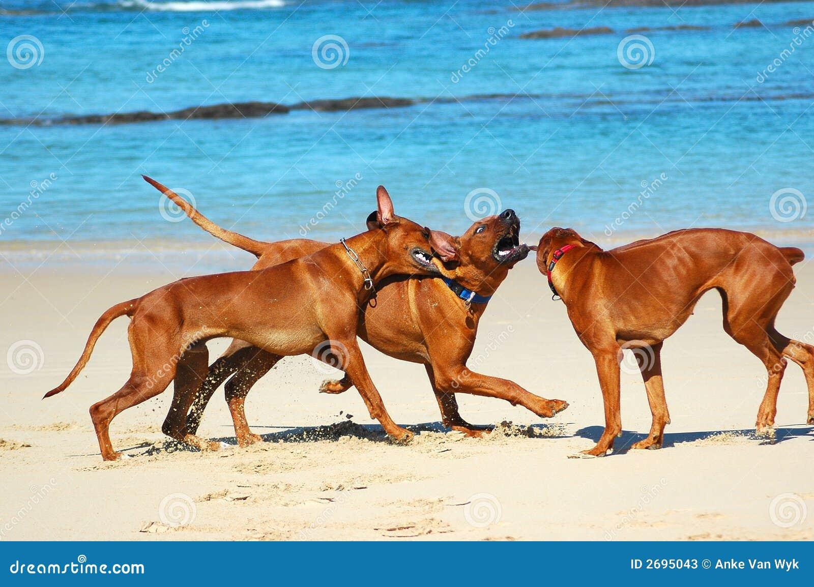 Jogando cães