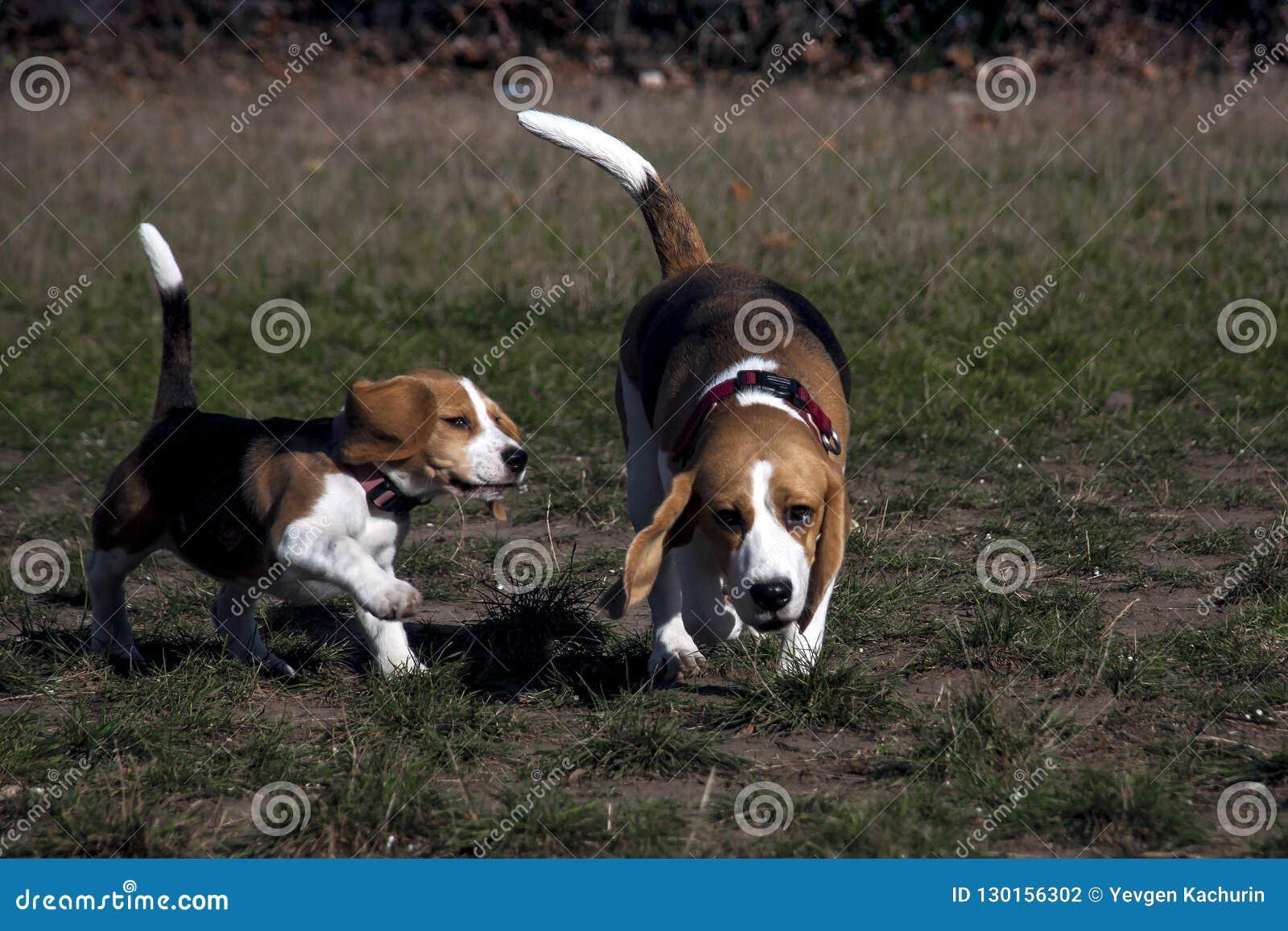 Jogo do cachorrinho do cão do lebreiro